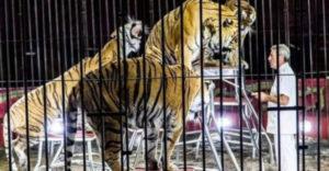 A világhírű állatidomárt saját tigrisei szaggatták széjjel. Szenvedélye lett a végzete is.