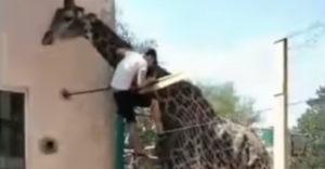Meglovagolta az állatkerti zsiráfot egy részeg turista