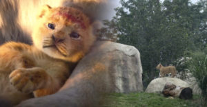 Az oroszlánbébi, akiről Az oroszlánkirály legújabb verziójának Simbáját mintázták, egy állatkerti oroszlán