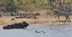 A parton oroszlánok, a vízben krokodil. Nehéz döntés előtt állt a bivaly