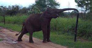 Intelligens elefánt átmegy az elektromos kerítésen