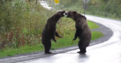 Két grizzly medve a territóriumért harcol