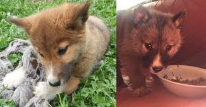 Az ausztrál nő magához vett egy kiskutyát, akit keveréknek hitt. Semmi sem tűnt fel neki, míg a kutyus fel nem nőtt