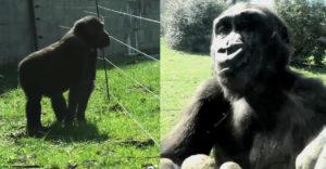 A fiatal gorilla át akar jutni a villanypásztoron. A családjával szeretne lenni