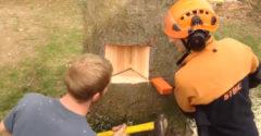 Egy igazi profi munka! Tökéletesen megtervezték a fa kivágását