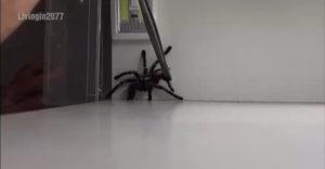 Mi a teendő, ha a tarantula befogása nem a tervek szerint sikerül