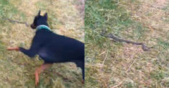 Ha meg akarsz sétáltatni, segíts nekem elintézni ezt a kígyót (Nem teketóriázott vele a doberman)