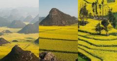 Gyönyörű, sárga virágtengerek: hatalmas repceföldek Kínában