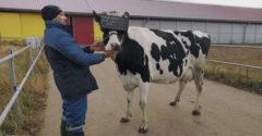Teheneken tesztelnek virtuális szemüvegeket, hogy növeljék a tejhozamukat