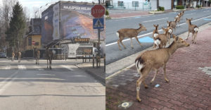 Állatok sétálnak a kihalt utcákon. Most végre biztonságban érzik magukat ott is