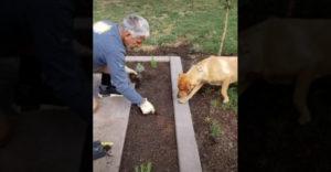 Amikor a kerti munkákba befogod a kutyád is (Ideális munkás)