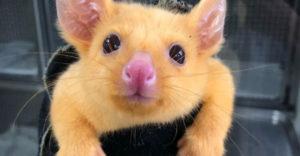 Egy értékes és ritka teremtményt mentett meg egy ausztrál állatklinika. Az emberek azt mondják, hogy Pikachut kapták el