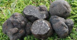 Méregdrága gombát talált a kertjében egy baranyai nő, de valamit nagyon elrontott, a lelet így már egy fillért sem ér