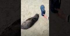 A kínai turista fel akarta ébreszteni a parton alvó fókabébit. A gumipapucsával csapdosta meg