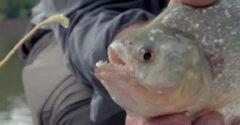 Kifogott egy piranhát, hogy meggyőződjön róla, hogy az képes-e szétharapni egy acélhuzalt