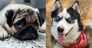 A mopsz és a husky keveréke a világ egyik legfurább kutyája