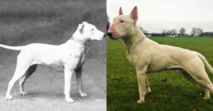 Hogyan néztek ki a ma népszerű kutyafajták 100 évvel ezelőtt