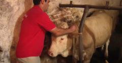 Egész eddigi életében láncra kötve élt. A bika boldogsága, miután kiszabadították
