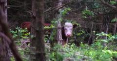 A tehén egyenesen az erdőbe menekült a vágóhídról. A férfi sosem feledi a látványt, ami az állat meglelésekor elé tárult
