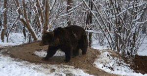 A lelki sérült medve 6 évvel az állatkerti szabadulása után