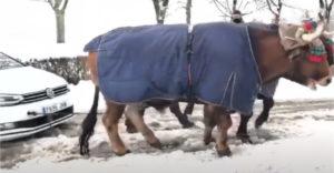 Ha elakadunk a hóban, majd csak segít nekünk egy ökör (Szó szerint)