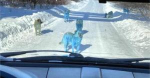 Nem hitt a szemének, amikor egy falka kék szőrű kutya jelent meg a kocsija előtt