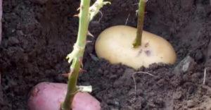 Rózsaszárat szúrt egy krumpliba, majd azzal együtt a földbe ültette. Egy hét után már látszódott is az eredménye.