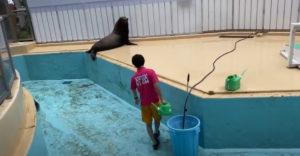 Vajon mit csinálnak a fókák, amikor az állatkert dolgozói a medencéjüket tisztítják? Hát élvezik