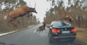Egy csapat szarvas szökdécselt végig a BMW-jén (Egy sokkolt sofőr)