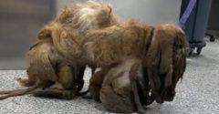Több mint 7 kg szőrtől szabadították meg. A gazdátlan eb új életet kapott.