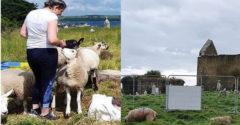 Juhok és kecskék segítenek egy benőtt ír temető feltárásában